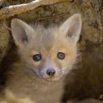 Fox kit photo by Constance Knox