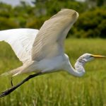 White Egret Photo by Constance Knox
